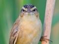 Schilfrohrsänger, Sedge Warbler, Acrocephalus schoenobaenus