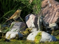 Schilfrohrsänger, Sedge Warbler, Acrocephalus schoenobaenus, Phragmite des joncs, Carricerín Común