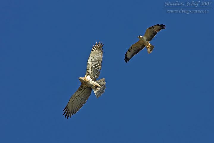 Schlangenadler Short Toed Eagle Circaetus Gallicus Living Nature