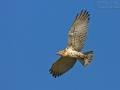 Schlangenadler, Short-toed Eagle, Short-toed Snake-Eagle, Circaetus gallicus, Circaète Jean-le-Blanc, Culebrera Europea