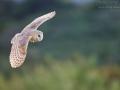 Schleiereule, Barn Owl, Tyto alba, Effraie des clochers, Chouette effraie, Lechuza Común