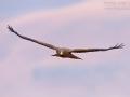 Schmarotzermilan, Yellow-billed Kite, Milvus aegyptius