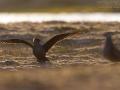 Schmarotzerraubmöwe, Parasitic Jaeger, Stercorarius parasiticus