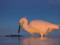 Schmuckreiher, Snowy Egret, Egretta thula, Aigrette neigeuse, Garceta Nívea