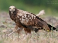 Schmutzgeier, Egyptian Vulture, Neophron percnopterus, Vautour percnoptère, Percnoptère d'Égypte, Alimoche Común