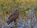 Schneckenweih, Everglade Kite, Snail Kite, Rostrhamus sociabilis