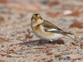 Schneeammer, Snow Bunting, Plectrophenax nivalis, Bruant des neiges, Escribano Nival