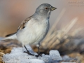 Schneefink, Snowfinch, Montifringilla nivalis