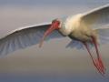 Schneesichler, White Ibis, Eudocimus albus