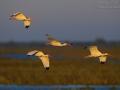Schneesichler, White Ibis, Eudocimus albusEudocimus albus_mk2n_66928