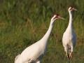 Schreikranich, Whooping Crane, Grus americana