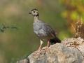 Schwarzkopf-Steinhuhn, Arabian Chukar, Arabian Partridge, Alectoris melanocephala
