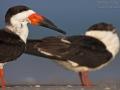 Schwarzmantel-Scherenschnabel, Amerikanischer Scherenschnabel, Black Skimmer, Rynchops niger