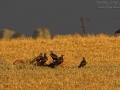 Schwarzmilan, Black Kite, Milvus migrans, Milan noir, Milano Negro