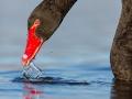 Schwarzschwan, Black Swan, Cygnus atratus