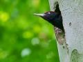 Schwarzspecht, Black Woodpecker, Dryocopus martius