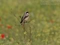 Schwarzstirnwürger, Lesser Grey Shrike, Lanius minor, Pie-grièche à poitrine rose, Alcaudón Chico