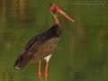 Schwarzstorch, Black Stork, Ciconia nigra, Cigogne noire, Cigüeña Negra