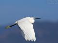 Seidenreiher, Little Egret, Egretta garzetta, Aigrette garzette, Garceta Común
