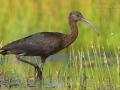 Sichler, Glossy Ibis, Plegadis falcinellus, Ibis falcinelle, Morito Común