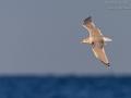 Silbermöwe, Herring Gull, Larus argentatus,