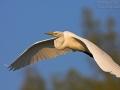 Silberreiher, Great White Egret, Egretta alba
