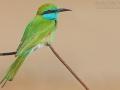 Smaragdspint, Little Green Bee-eater, Little Green Bee Eater, Merops orientalis, Guêpier d'Orient, Abejaruco Oriental