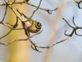 Sommergoldhähnchen, Firecrest, Regulus ignicapillus