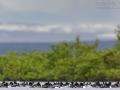 Spatelente, Barrow's Goldeneye, Bucephala islandica