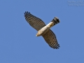 Sperber, Eurasian Sparrowhawk, Accipiter nisus