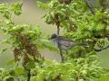 Sperbergrasmücke, Barred Warbler, Sylvia nisoria, Fauvette épervière, Curruca Gavilana