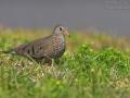 Sperlingstaube, Common Ground Dove, Common Ground-Dove, Columbina passerina