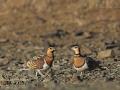 Spießflughuhn, Pin-tailed Sandgrouse, Pintailed Sandgrouse, Pterocles alchata, Ganga cata, Ganga Ibérica, Ganga Común