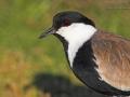 Spornkiebitz, Spur-winged Plover, Spur-winged Lapwing, Hoplopterus spinosus, Vanellus spinosus, Vanneau éperonné, Avefría Espinosa