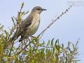 Spottdrossel, Northern Mockingbird, Mimus polyglottos, Moqueur polyglotte, Sinsonte Común