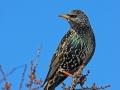 Star, Starling, European Starling, Common Starling, Sturnus vulgaris, Étourneau sansonnet, Estornino Pinto