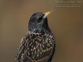 Star, Starling, European Starling, Common Starling, Sturnus vulgaris, Étourneau sansonnet, Estornino Pinto