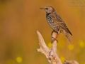 Star, European Starling, Sturnus vulgaris