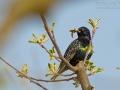Star, Starling, European Starling, Common Starling, Sturnus vulgaris, Etourneau sansonnet, Estornino Pinto