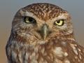 Steinkauz, Little Owl, Athene noctua, Chevêche d'Athéna, Chouette chevèche, Mochuelo Europeo, Mochuelo Común