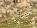 Steinrötel, Rock Thrush, Mountain Rock Thrush, Rufous-tailed Rock-Thrush, Monticola saxatilis, Monticole de roche, Merle de roche, Roquero Rojo
