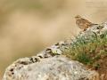 Steinsperling, Rock Sparrow, Streaked Rock Sparrow, Petronia petronia, Moineau soulcie, Gorrión Chillón