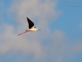 Stelzenläufer, Black-winged Stilt, Himantopus himantopus, Échasse blanche, Cigüeñuela Común