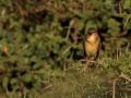 Stentorrohrsänger, Clamorous Reed Warbler, Clamorous Reed-Warbler, Acrocephalus stentoreus, Rousserolle stentor, Carricero Estentóreo
