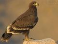 Steppenadler, Steppe Eagle, Aquila nipalensis, Aigle des steppes, Águila Esteparia