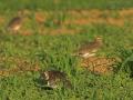 Steppenkiebitz, Sociable Plover, Sociable Lapwing, Chettusia gregaria, Vanellus gregarius, Vanneau sociable, Pluvier sociable, Avefría Sociable