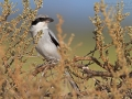 Steppenraubwürger, Steppe Grey Shrike, Steppe Northern Shrike, Lanius excubitor pallidirostris, Lanius pallidirostris, Pie-grièche des steppes