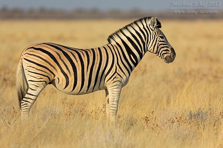 Steppenzebra / Burchell's zebra / Equus quagga | Living Nature