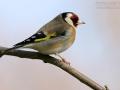 Stieglitz, Distelfink, Eurasian Goldfinch, Goldfinch, European Goldfinch, Carduelis carduelis, Chardonneret élégant, Chardonneret, Jilguero