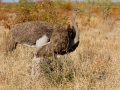 Strauß, Ostrich, Struthio camelus, Autruche d'Afrique, Avestruz